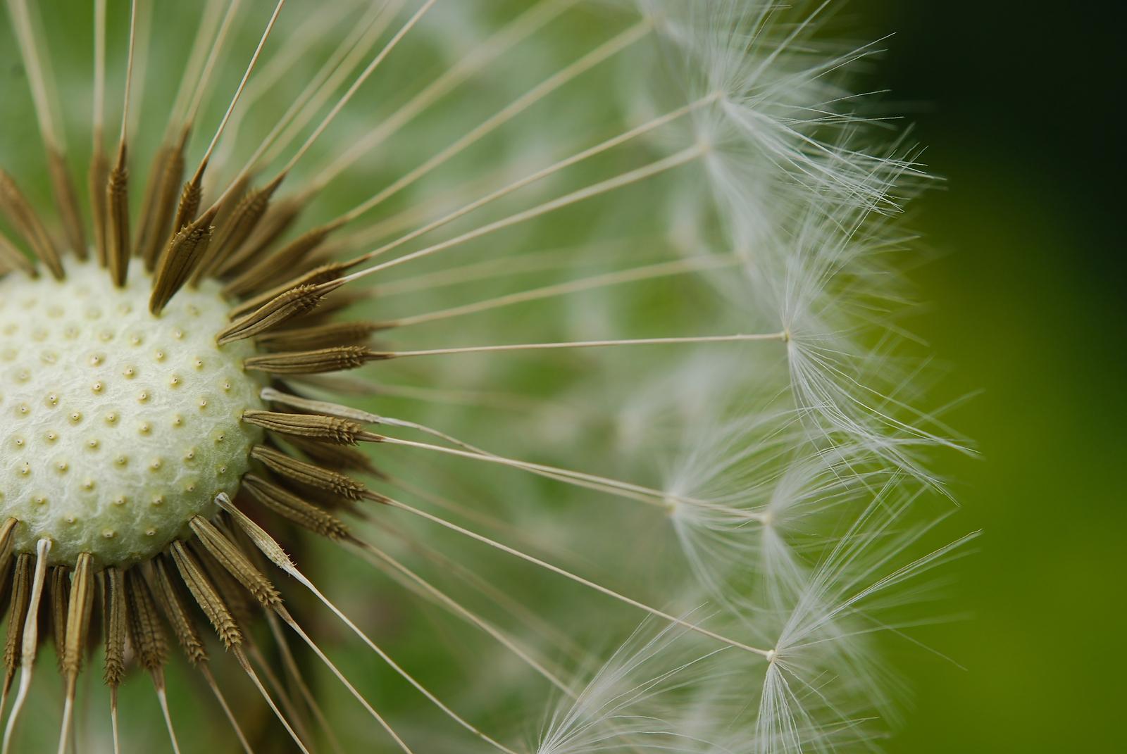radiant dandelion flower